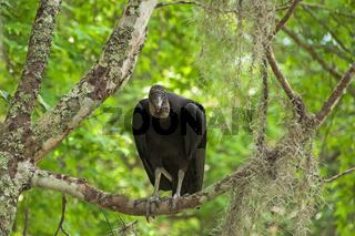 Rabengeier sitzt im Baum in den Sümpfen von Louisiana