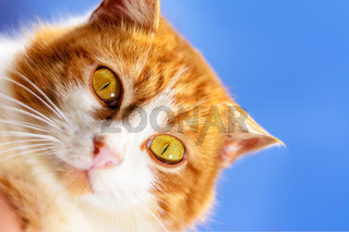 A magnificent red cat with yellow eyes close up on a blue sky background