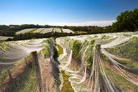 Mornington Peninsula Vines