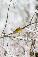 Snowy branches with a Yellowhammer