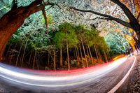 Cars driving on a road lined with cherry blossom in Jinhae