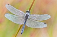 Heidelibelle im Perlenkleid