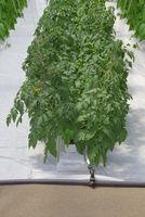 Hydroponic Tomato Plant