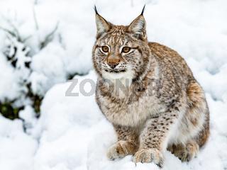 Eurasian Lynx, Lynx lynnx, sitting in the snow