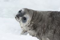 Weddell seal baby who is lying on the ice turning his head