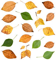 set of various leaves of poplar trees isolated