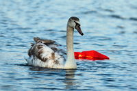 juvenile mute swan swimming on polluted river ( Cygnus olor )