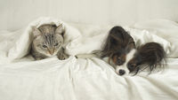 Cat with a dog lies under blanket on the bed