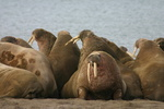 Walruses