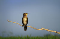 great cormorant perched on branch in natural habitat