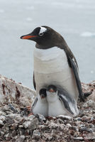 female and two chicks on the nest Gentoo penguin