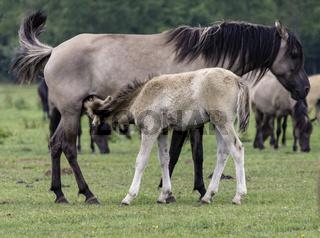 Stute mit saeugendem Fohlen, wild lebende Pferde im Merfelder Bruch, Dülmen, Nordrhein-Westfalen, Juni,
