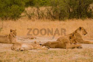 Löwinnen Gruppe in der Savanne vom in Simbabwe, Südafrika