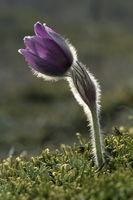 Echte Kuechenschelle (Pulsatilla vulgaris)