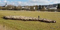 Schafherde, Schaf, Ovis