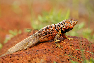 Male Lava Lizard on North Seymour island, Galapagos National Park, Ecuador