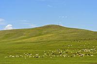 Gemischte Herde aus Schafen und Kaschmir Ziegen weidet in der mongolischen Steppe