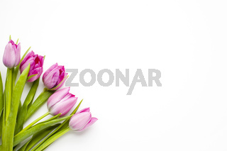 Tulips for Spring and summer on white background