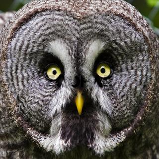 Bartkauz (Strix nebulosa) - great gray owl (Strix nebulosa)