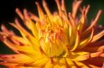 gelb-rosa Dahlien-Blüte - asteridae