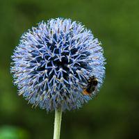Nahaufnahme der Blüte einer Kugeldistel mit Hummel
