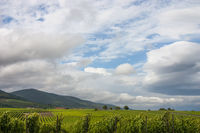 Blick über Weinberge auf den Pfälzerwald, Haardtrand