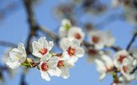 Mandelblüte im Burgenland