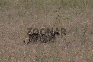 Gepard auf der Lauer, Serengeti Nationalpark, Tansania,