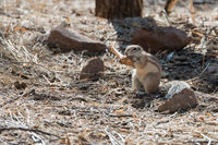 Close view of Namibian fluffy ground squirrel gnawing a bone