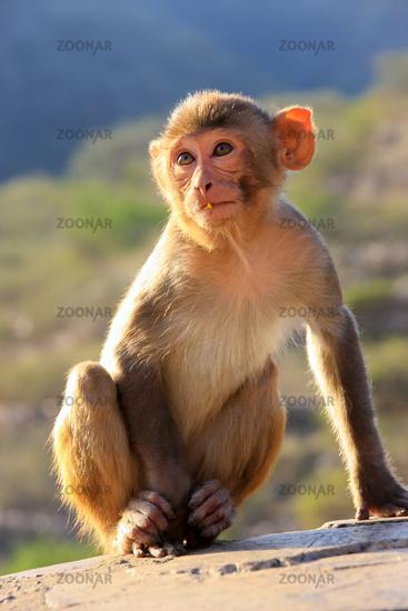Rhesus macaque sitting near Galta Temple in Jaipur, Rajasthan, India.