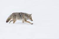 schneeweiß... Kojote *Canis latrans*
