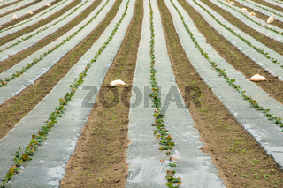 Row of small strawberry plants planted in plastic sheet