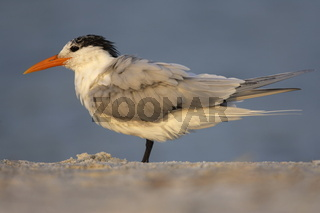 Königsseeschwalbe - Thalasseus maximus - Royal Tern