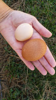 Female Hand Holding Two Different Sized Organic Eggs In Palm of Hand