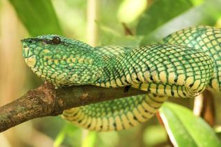 Waglers Pit Viper-Waglers Bambusotter-Malaysia
