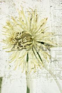 Weiße Clematis Blüte mit Textur