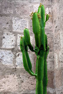 cactus on background of brick wall