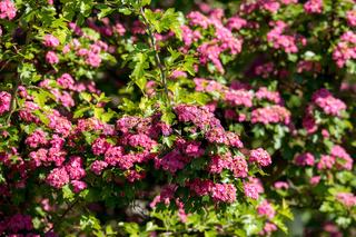 Pink flowers hawthorn tree