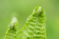 Young green twisted fern leaves