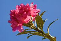 Alpenrosenblüte vor blauem Himmel