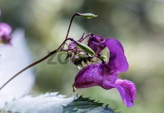 Breitblättrige Platterbse, Staudenwicke, (Lathyrus latifolius)