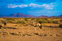 Two oryx standing at the road