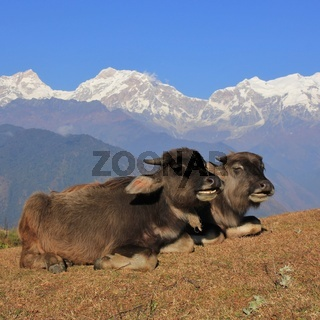 Chatting water buffalo babies