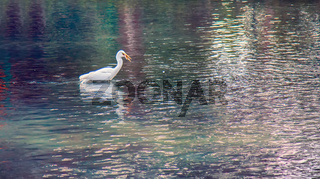 Great white egret hunting for small fish
