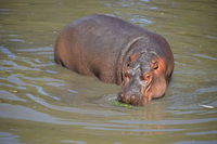 One hippo swims and walks in water