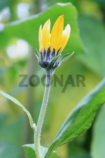 gelbe Blüte, Topinambur