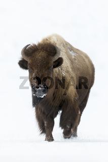 Vorsicht ist geboten... Amerikanischer Bison *Bison bison*