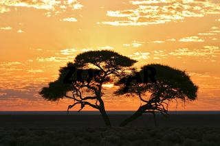 Akazie im Sonnenaufgang, Etosha Nationalpark, Namibia, Afrika, Acacia at sunrise, Etosha National Park, Namibia, Africa
