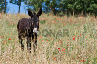 Donkey in Italy, Le Marche