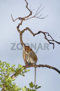 Nasenaffe / Proboscis Monkey / Nasalis larvatus